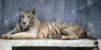 白虎首次落户武汉动物园 明年还将引进一只公虎为伴 - 新浪湖北
