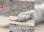 武汉动物园老虎饿到吃土?园方回应:它是在吃食物残渣 - 新浪湖北
