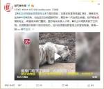 武汉动物园白虎饿得吃土?动物园:瘦90公斤是笔误 - 新浪湖北