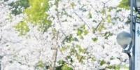 武汉20多个赏樱片区吸引全国游客来打卡 - Whtv.Com.Cn
