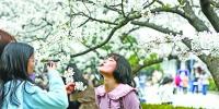 武大赏樱限流首日游人如织 大风对樱花未造成太大影响 - 新浪湖北