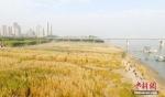 资料图:市民在武汉汉口江滩上游赏。中新社记者 张畅 摄 - 新浪湖北